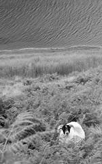 Scotland Hiking 2015 (olythompson) Tags: ocean light summer mountains beach nature water river landscape coast scotland seaside sheep ben outdoor hiking perspective shore valley riverbed loch hiding munro chonzie kinlochard