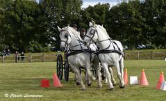 Quatre Percherons,  attelage de Franck LAMY (claude.lacourarie) Tags: caballo cheval brittany bretagne breizh concours cavalli cavallo cavalo chevaux paard paarden corlay attelage  chevauxdetrait