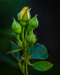Rose Futures