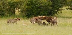 The Intruder (markrellison) Tags: wild mammal cub blood kill kenya wildlife cheetah cubs impala masai malaika cheetahs lightroom f50 masaimara wildanimals eastafrica iso500 420mm flighting 11600sec lrcc ef300mmf28lisusm14x canoneos5dmarkiii kichechemaracamp lightroomcc