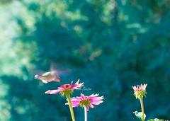 Teal-Pink-Hummingbird by CheyAnne Sexton (newmexicomtngirl (CheyAnne Sexton)) Tags: pink flowers newmexico canon rebel hummingbird teal hollyhocks stockphoto xti chuparosa hummingbirdphotography hummingbirdart