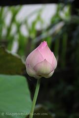 IMG_2732 (singaporeplantslover) Tags: nymphaea   lotus