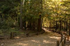 (giridharvc7) Tags: california green nature forest big hiking basin jungle yosemite redwood bigbasin