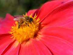 honeybee on dahlia (simon edge) Tags: dahlia flower macro nikon 40mm nikkor d5100 honaybee