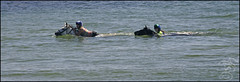 Swimming horses at Solva (steeedm) Tags: sea summer horses beach water sunshine southwales wales seaside pembrokeshire solva horseriding