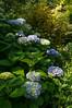 Jardin d'Elle (GardenTraveller) Tags: blue france gardens garden french jardin normandie hydrangea normandy hortensia delle macrophylla villiersfossard