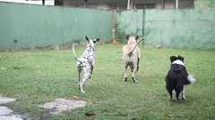 DSC03115 (agorayebm) Tags: dog bordercollie dalmatian crick dlmata