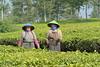 Tea Farmers (iqronaldo) Tags: fish west garden java fisherman mess tea farm web teh bandung jawa waduk rumah malabar barat pangalengan danau situ boscha bosscha cileunca belanda nusantara perkebunan cisanti cipanunjang cisantipangalengan