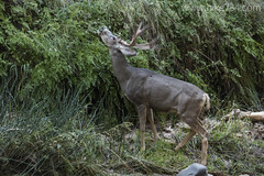 """Mule Deer • <a style=""""font-size:0.8em;"""" href=""""http://www.flickr.com/photos/63501323@N07/21881284984/"""" target=""""_blank"""">View on Flickr</a>"""