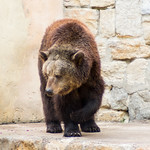 Brown bear thumbnail