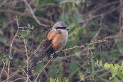 Long-tailed shrike or rufous-backed shrike (Lanius schach) (Ron Winkler nature) Tags: longtailed shrike or rufousbacked laniusschach lanius schach bird birding birdwatcher asia keoladeo india canon