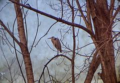 IMG_6724 in a cold cold morning... (pinktigger) Tags: autumn italy tree fall heron italia branches baretree friuli greyheron fagagna oasideiquadris feagne