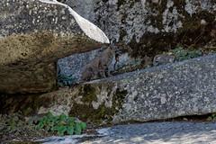 Ryś rudy | Bobcat