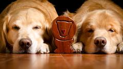Little Noses (bztraining) Tags: dogchal henry odc zachary bzdogs bztraining golden retriever 3662016