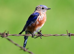 eastern bluebird male at Ludwig Preserve IA 854A3193 (lreis_naturalist) Tags: eastern bluebird male ludwig preserve winneshiek county iowa larry reis