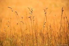 A taste of summer (Laurent Castiau) Tags: summer t couleur colour orange gramines grasses canon canoncamera canonlens canoneos6d telephotozoomlens tlzoom depthoffield profondeurdechamp bokeh flou
