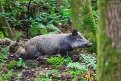 Wild Boar Running (RichardBeech) Tags: wildboar boar wild wildlife forestofdean royal rfod gloucestershire uk england forest wood nature pig susscrofa animal mammal trees reintroduced swine canon canon5dmarkiii canon100400mm