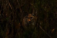 Lince europea - Lynx lynx (Francesca Ricci Natura) Tags: animal animals bobcat cat bigcat lynx hide hiding plant plants brown abruzzo italy italia nikon d7100
