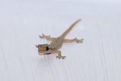 Common House Gecko on the wall (Curufinwe - David B.) Tags: gecko teke animal nature lizard forest jungle rainforest macrohon southernleyte leyte philippines philippine filipinas pinas teampilipinas mountain moutains sony hemidactylusfrenatus hemidactylus frenatus commonhousegecko housegecko