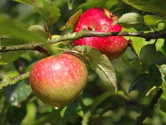 Even if I knew that tomorrow the world would go to pieces, I would still plant my apple tree. Martin Luther (Knarfs1) Tags: apfel apple fruit frucht tree baum obst garden harvest ernte