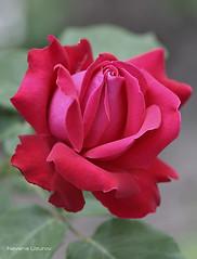 Nevena Uzurov - Red petals (Nevena Uzurov) Tags: rose red romantic love fridayflower mygarden nature plant nevenauzurov serbia cvet rua