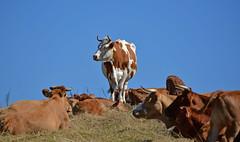 """La """"chef"""" du troupeau... (Diegojack) Tags: paysages alsace vosges france etang animalires bovins vaches"""