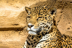 Proud Female Jaguar (tspottr723) Tags: jaguar big cat large west orange nj new jersey turtle back zoo feline predator spots nikon d7100 tamron 150600 animal mammal beast