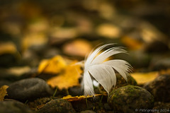 Little feather on the beach. (Petrigraphy) Tags: canon finland macro feather autumn lake closeup beach rocks leaves