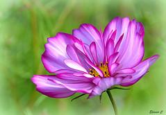 Thursday`s Flower (Eleanor (No multiple invites please)) Tags: cosmos busheyrosegarden bushey uk nikond7200 september2016