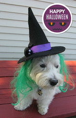 "10/12A ~ ""Riley, My Little Witch"" (ellenc995) Tags: riley westie westhighlandwhiteterrier 12monthsfordogs16 halloween witch rubyphotographer coth thesunshinegroup alittlebeauty coth5 sunrays5 supershot worldofanimals challengeclub pet100 thesuperbmasterpiece pet500 100commentgroup akob"