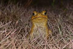 Cane Toad (Rhinella marina) (shaneblackfnq) Tags: cane toad rhinella marina shaneblack amphibian bufo wonga beach daintree river mossman fnq far north queensland australia tropics tropical introduced pest toxin exotic