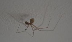 daddy long legs spider cellar  egg sack ball (dennoir) Tags: daddy long legs spider cellar egg sack ball