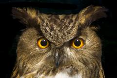 Eagle Owl (stefanfricke) Tags: eagle owl uhu sony ilce6000 a6000 7dwf