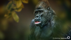 Dietmar Meinert |  Westlicher Flachlandgorilla (Dietmar Meinert) Tags: dietmarmeinert nikon d800 photografie tierfotografie photoshop primat affe flachlandgorilla tieflandregenwald animals menschenaffe tier tierwelt tierschutz regenwald iucn lebensraum portrait sugetiere zoo wwf buschfleisch trockennasenaffe hominidae monkey aussterben ape artenschutz worldwidefundfornature lebewesen afrika gorilla anthropoidea nationalpark