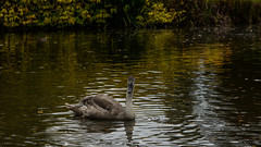 Autumn cygnet (PChamaeleoMH) Tags: anatidae autumn birds cygnets fauna leaves oxford swans universityparks
