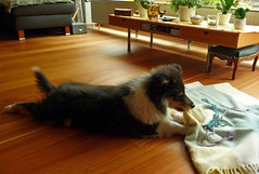 Puppy Collin (Schwanzus_Longus) Tags: rough collie dog doggie dogs fluffy german germany good home hund male pet puppy tricolor haustier tier outdoor delmenhorst