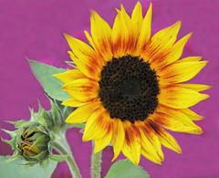 Sunflower Love (Cher12861 (Cheryl Kelly on ipernity)) Tags: cantignygardens wheatonillinois sunflower yellow closeup editedbackgroundtomakemoreuniform flower floral nature beauty