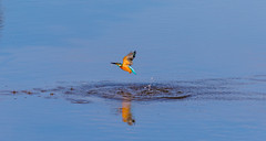 Kingfiser in flight (TSE Photography Cornwall) Tags: bird kingfisher flight wildlife cornwall water