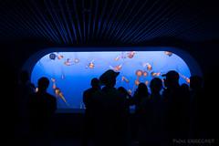 Jellyfishes and men (Patxi ERRECART) Tags: california monterrey bay jellyfish colours aquarium seaquarium fish water sea blue