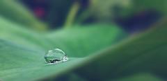 Solitude (Mobile Macrogropher) Tags: macro mobile macrographer smartphone photography lgg4 diylens bokeh lotus leaf water droplets dew ngc
