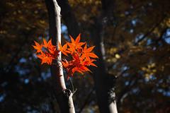 2016  (shinichiro*) Tags: 20161122sdim0565edit 2016 crazyshin sigmasd1merrill sd1m sigma24105mmf4dgoshsm autumn november niiza saitama japan jp    nik