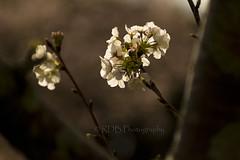 Cherry Blossom Bokeh 1 (C & R Driver-Burgess) Tags: blossom spring bokeh twigs leaves sunshine