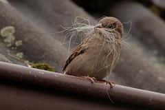 Rolf_Nagel-Fl-6998-Passer_domesticus (Insektenflug) Tags: passerdomesticus housesparrow passer domesticus house sparrow haussperling grspurv sperling spatz vogel vgel bird birds mecklenburg vorpommern mritz