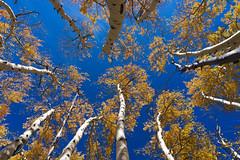 Beautiful Aspens (alitay) Tags: aspens blue dixienationalforest orange sky trees utah deercreektrail