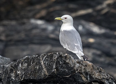 Kittiwake Profile (Rick Derevan) Tags: alaska kodiak bird kittiwake blackleggedkittiwake rissatridactyla