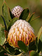 Perfect Protea (Englepip) Tags: plant outdoor southafrica protea flower hairy fynbos saveearth