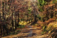 Wald im goldenen Herbst (Jutta M. Jenning) Tags: wald waelder baum baeume laubwald laubbaum ast aeste natur blatt blaetter baumstamm baumstaemme spazierweg weg wege spazierwege laufen wandern wanderweg herbst herbstlaub nature forest bunt tannen nadelbaum nadelbaeume