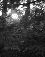 Rays (Nate Conn) Tags: texture bokeh outdoor field depth nature conifer pine tree leaf leaves needles grain grainy noise noisy branch outside outdoors plant black white blackandwhite monochrome bw