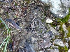 Escurçò (Hachimaki123) Tags: animal reptile reptil serp serpiente escurçò vibora
