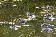 Wood Duck, chicks (Delta Naturalists Casual Birding) Tags: 201619 dncb colony dncblocation dncboutingid